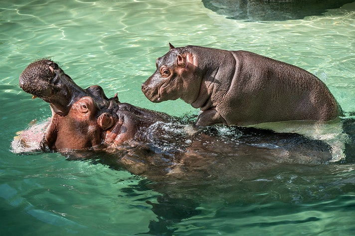Rosie the hippo goes for a ride at the L.A. Zoo